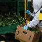 Worker in avocado packinghouse
